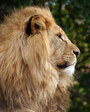 Male Lion 2 Stock Photography
