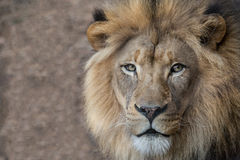 Male lion close up portrait Royalty Free Stock Image