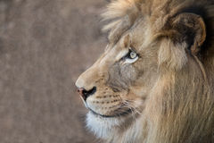 Male lion close up profile Stock Images