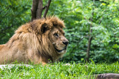 Male Lion close up Stock Images