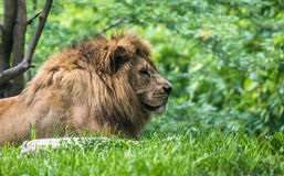 Male Lion close up Royalty Free Stock Photo