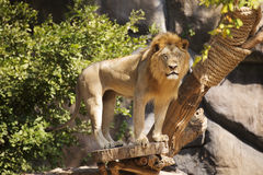 Male Lion closed the eyes Stock Photos