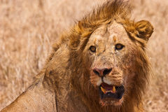 Male lion closeup of the head. Male lion closeup of his big head Royalty Free Stock Image