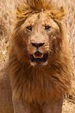 Male lion closeup of the head Stock Photography
