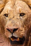Male lion closeup of the head. Male lion closeup of his big head Royalty Free Stock Photos