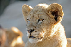 Male Lion Cub. Image of young male lion cub royalty free stock image