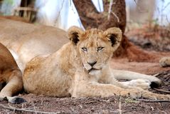 Male Lion Cub Stock Images