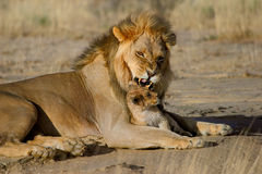 Male lion with cub. Aggressive display of male African lion (Panthera leo) towards small cub, Kalahari, South Africa stock photo