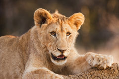 Male Lion Cub At Rest Stock Images