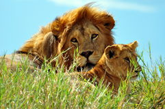 Male Lion and a cub in Serengeti National Park Royalty Free Stock Photography