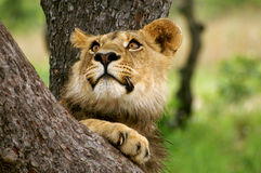 Male lion cub in a tree. Relaxing captured in a nature game reserve Royalty Free Stock Images