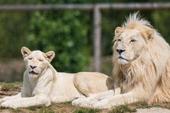 Male Lion With Cub Royalty Free Stock Photo