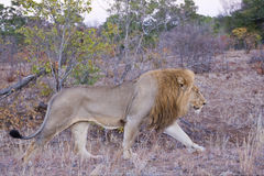 Male Lion at Daybreak Stock Photo