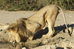 Male Lion drinking Royalty Free Stock Images