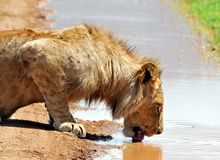 Male lion drinking water Royalty Free Stock Images