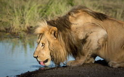 Male Lion drinking water in the Serengeti, Tanzania Royalty Free Stock Photos