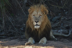 Male Lion. A  male lion  in a dry river bed Royalty Free Stock Image
