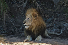 Male Lion. A  male lion  in a dry river bed Royalty Free Stock Photos