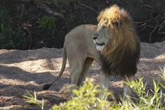 Male Lion. A  male lion  in a dry river bed Royalty Free Stock Photography