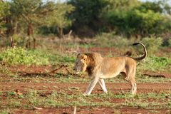 Lion male in South Africa stock images
