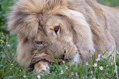 Male lion eating Royalty Free Stock Photography