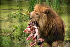 Male lion eating Royalty Free Stock Images
