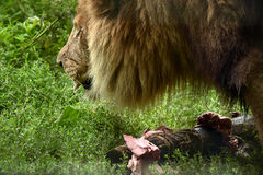 Male lion eating Royalty Free Stock Photo