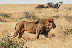 Male lion. In Etosha National Park in Namibia Royalty Free Stock Photography