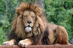 Male Lion with eyes closed Stock Images