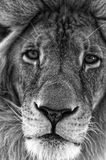 Male Lion Face Close-up Stock Image