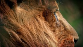 Male Lion Face Looking Around stock footage