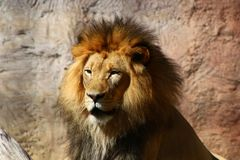 Male Lion Face. Male Lion at the San Francisco Zoo sitting still Stock Images