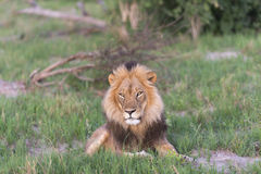 A male Lion facing the sun. A male Lion in the late afternoon Stock Images