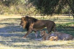 Male lion and family. In Africa royalty free stock image