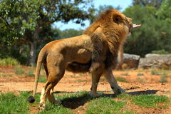 Male lion feeding. The lion is walking with a big piece of meat Royalty Free Stock Photo