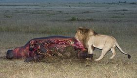 Male lion  feeds on the spoils of hippopotamus Stock Photos