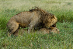Lion Couple Mating Stock Photo