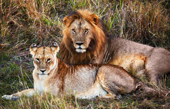 Male lion and female lion. Safari in Serengeti, Tanzania, Africa. Male lion and female lion - a couple, on savanna. Safari in Serengeti, Tanzania, Africa stock photo