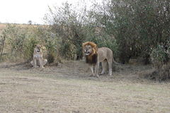 Male Lion female lioness in the wild maasai mara Stock Photos