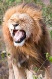 Male lion with flehmen response. Single male lion Panthera leo showing flehmen response in Maasai Mara National Park, Kenya Stock Photo