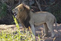 Male Lion. A  male lion  flehming in a dry river bed Royalty Free Stock Images