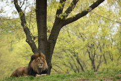 Male lion on forest savana background Royalty Free Stock Photos