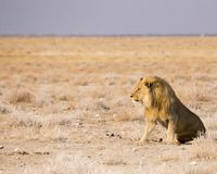 Male lion gazing royalty free stock photography