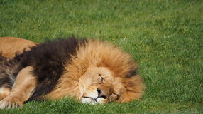 Male lion on grass Royalty Free Stock Image