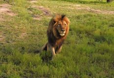 Male lion  in the grass Royalty Free Stock Photography