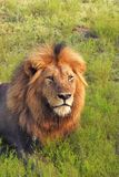Male lion  in the grass Royalty Free Stock Photos
