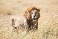 Male lion in grass with mouth open Stock Photos