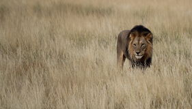 Male lion  in grass Royalty Free Stock Photos