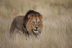 Male lion  in grass Royalty Free Stock Images