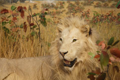Male Lion in Grasslands Royalty Free Stock Images